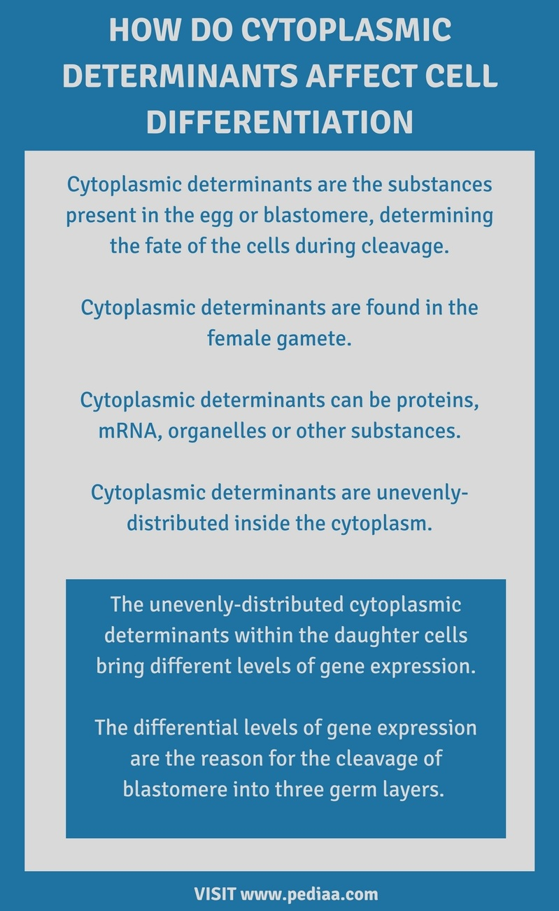 How Do Cytoplasmic Determinants Affect Cell Differentiation - Infographic