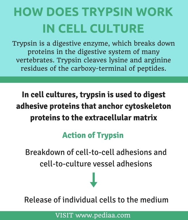 How Do Dendritic Cells Recognise Foreign Antigens - Infograph