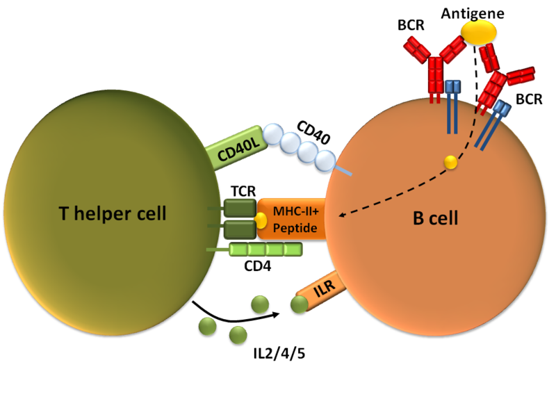 How Do Helper T Cells Activate B Cells_Figure 2