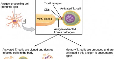 How Do Helper T Cells Activate B Cells