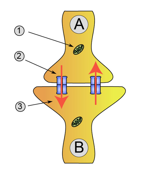 How Do Neurons Communicate With Each Other_Figure 3