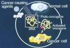 How Do Proto Oncogenes Become Oncogenes