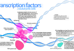 How Do Transcription Factors Work