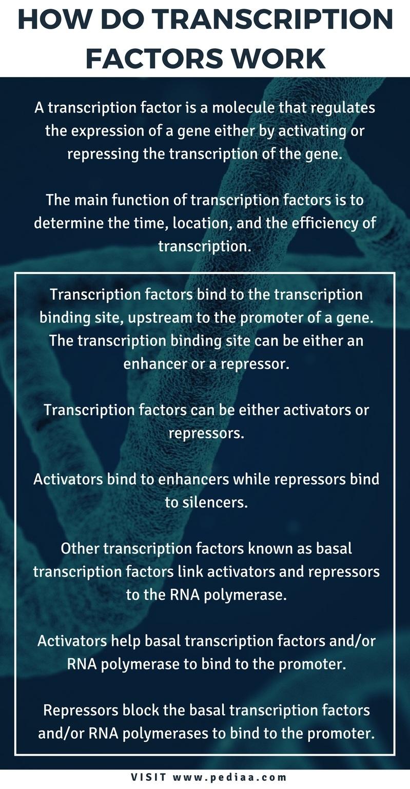 How Do Transcription Factors Work - Infograph
