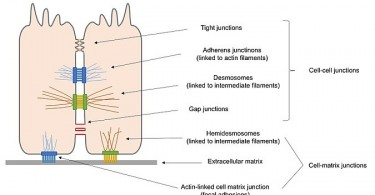 How Does Adhesion Affect Living Organisms