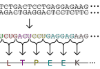 How Does DNA Codes for Proteins in a Cell