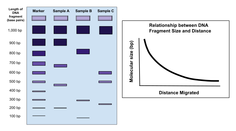 How Does Gel Electrophoresis Separate DNA Fragments