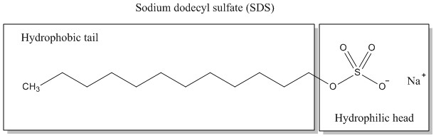 How Does SDS Denature Proteins_Figure 1