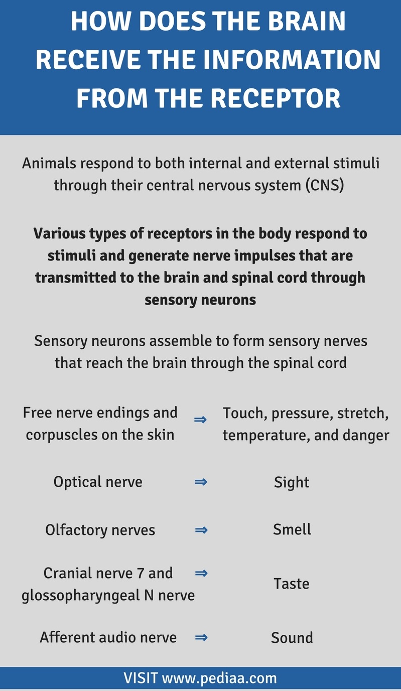 How Does the Brain Receive the Information from the Receptor