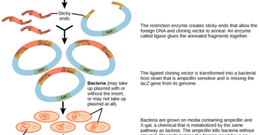 How are Plasmids Used in Genetic Engineering