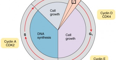 How is the Cell Cycle Controlled in Normal Cells