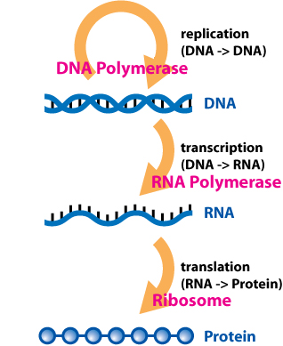 How is the Gene Expression Regulated_Figure 1