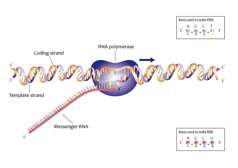 How is the Gene Expression Regulated_Figure 2