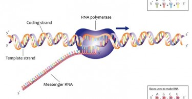 How to Transcribe DNA into mRNA
