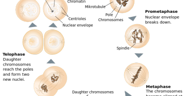 What Type of Cells Undergo Mitosis