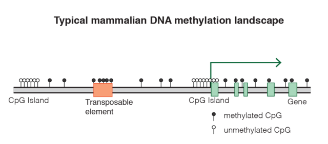 What is the Effect of DNA Methylation on Gene Expression