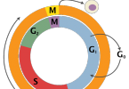 What is the Longest Phase of the Cell Cycle