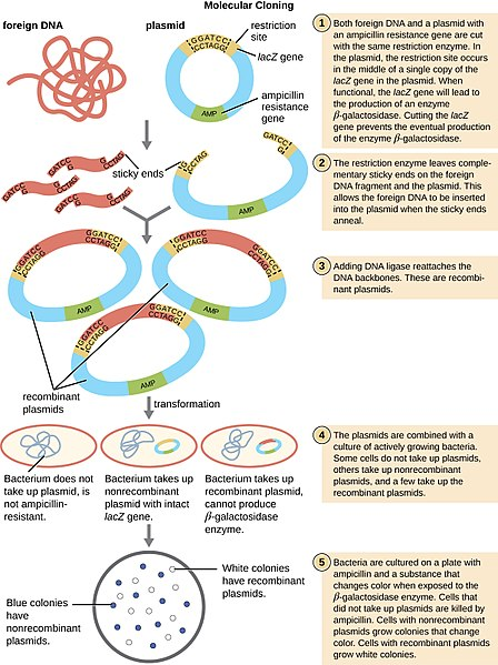 Why are Bacteria Used in Recombinant DNA Technology - 1
