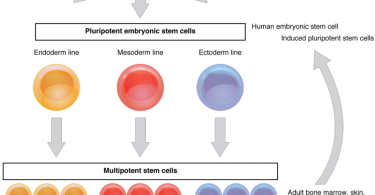 Why are Stem Cells Important