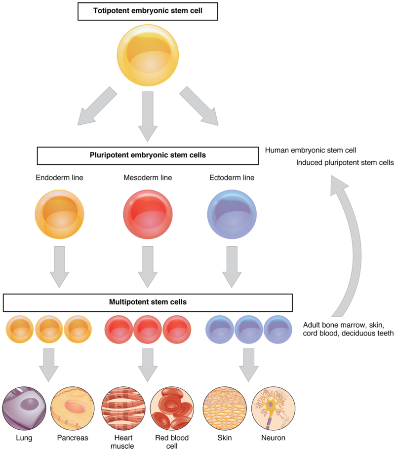 Why Stem: Why Are Stem Cells Important