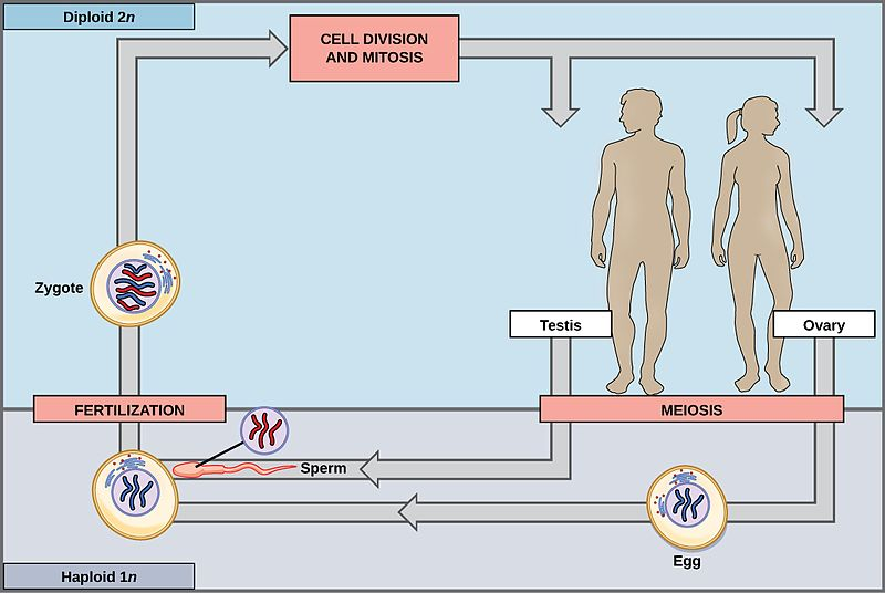 How Does Fertilization Affect the Chromosome Number of a Zygote