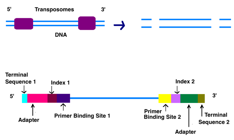 How Does Illumina Sequencing Work _Figure 1