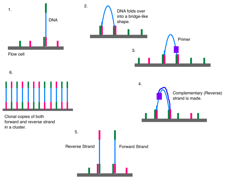How Does Illumina Sequencing Work_Figure 2