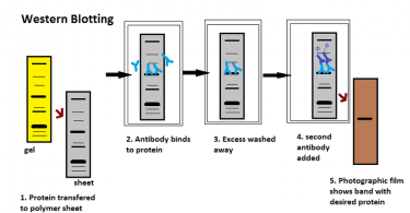How Does Western Blotting Work