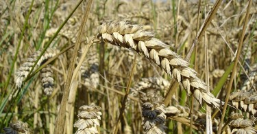 How Does Wheat Pollinate