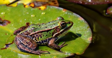 How Does a Frog's Circulatory System Work