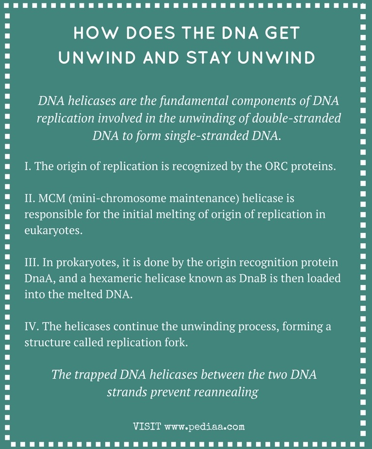 How Does the DNA Get Unwind and Stay Unwind - Infograph