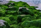 How are Green Algae Different from Cyanobacteria