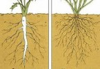 How are Taproots and Fibrous Roots Different