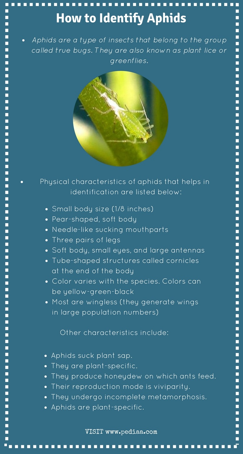 How to Identify Aphids_Infograph