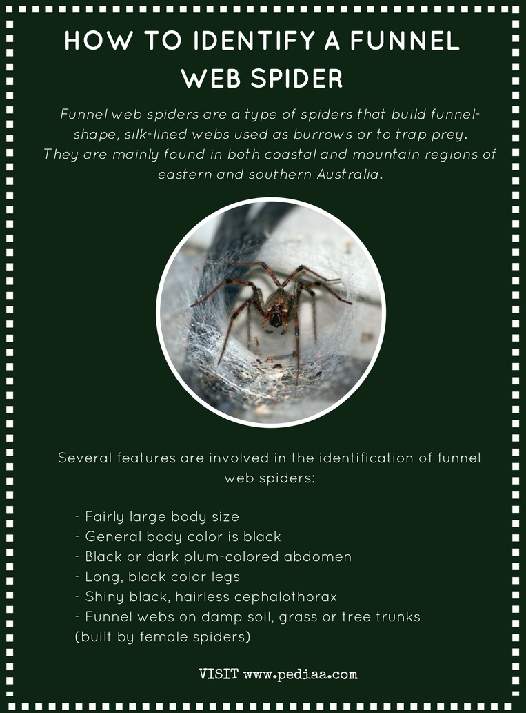 How to Identify a Funnel Web Spider - Infograph