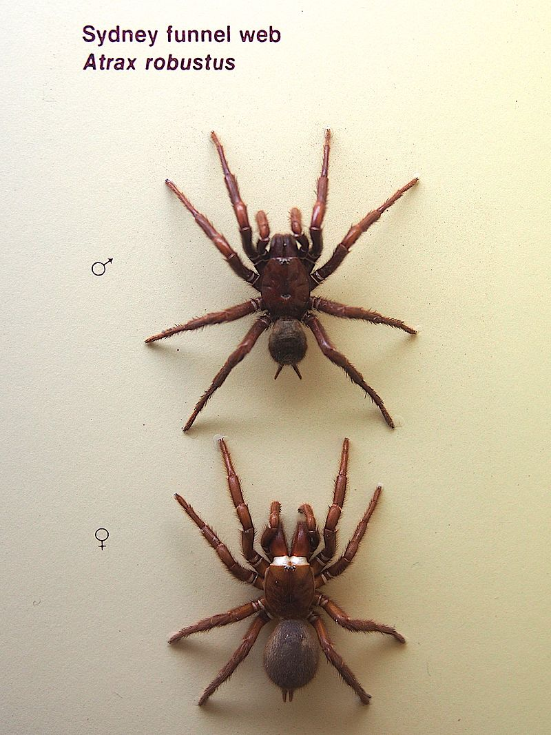 How to Identify a Funnel Web Spider