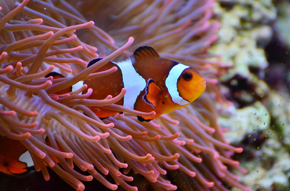 relationship between anemonefish and sea anemones clownfish
