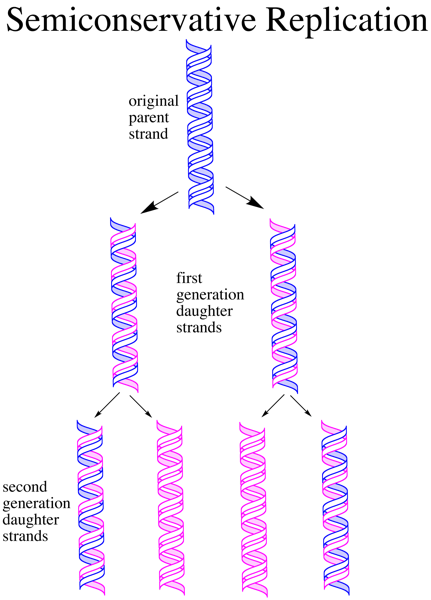Why is DNA Replication Described as Semiconservative_Figure 3