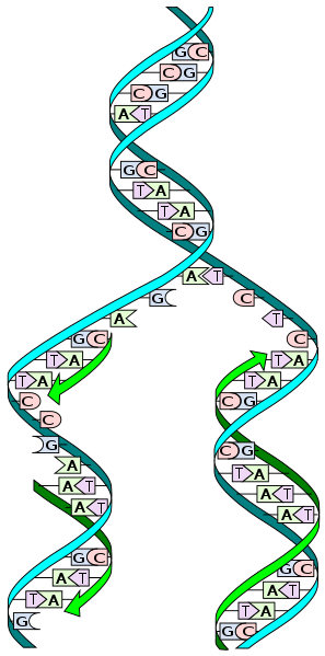 Why is DNA Replication Described as Semiconservative_Figure 2