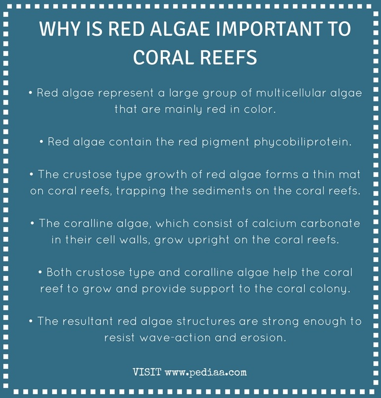 Why is Red Algae Important to Coral Reefs - Infograph