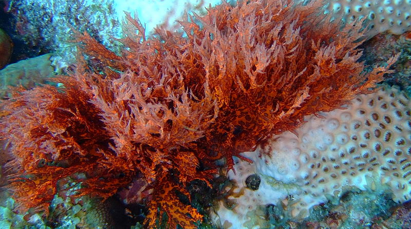 Why is Red Algae Important to Coral Reefs