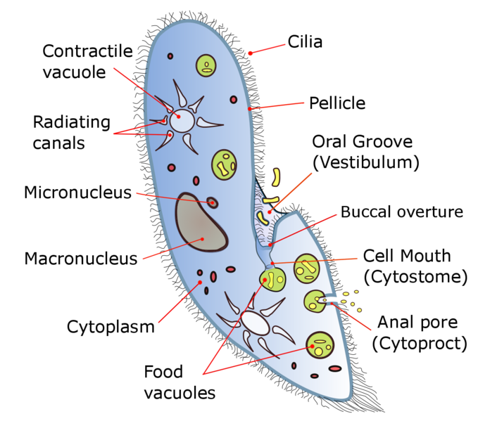 Why is the Division of Paramecium Cells Called Transverse Fission