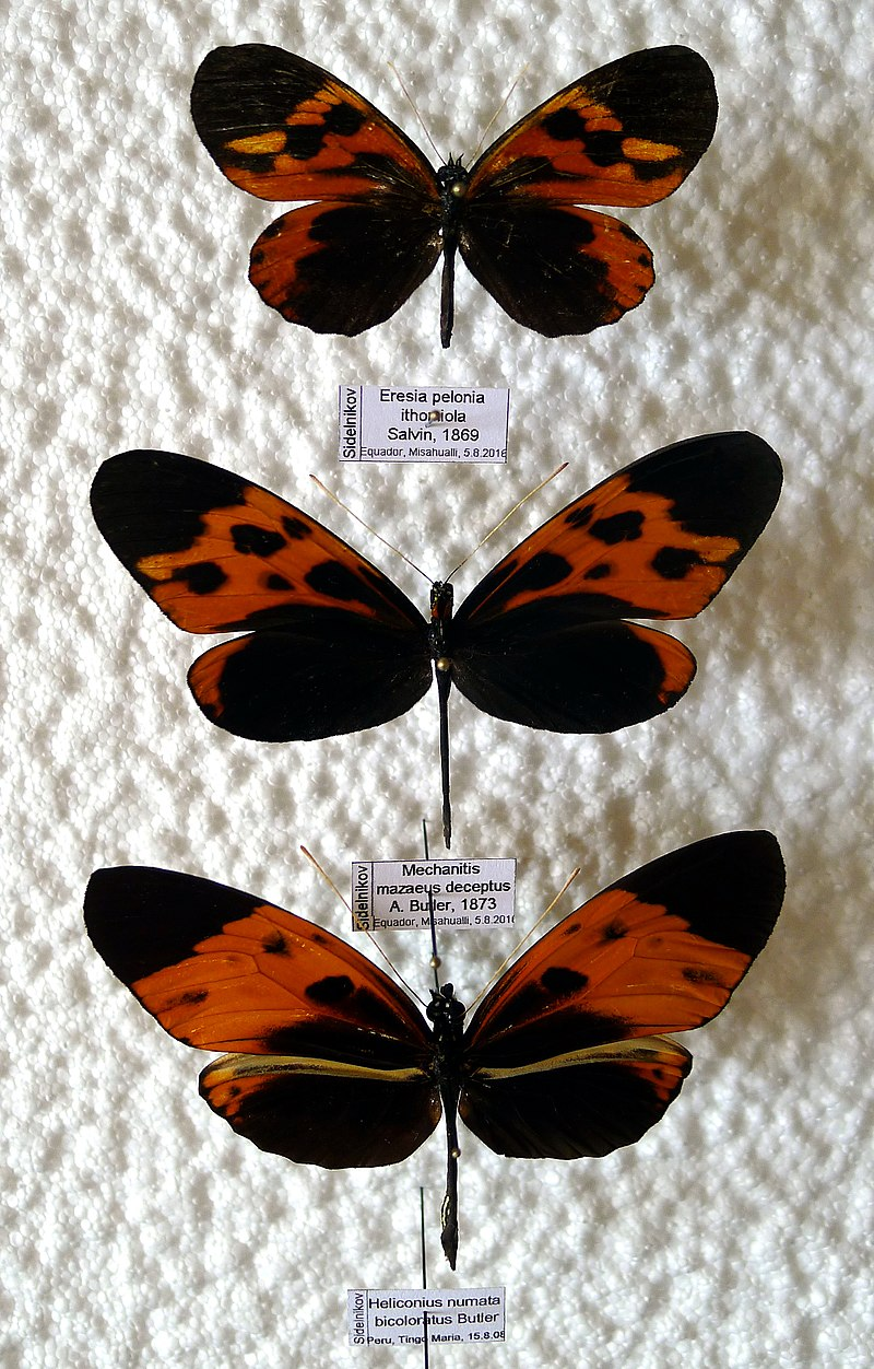 Main Difference - Batesian vs Mullerian Mimicry