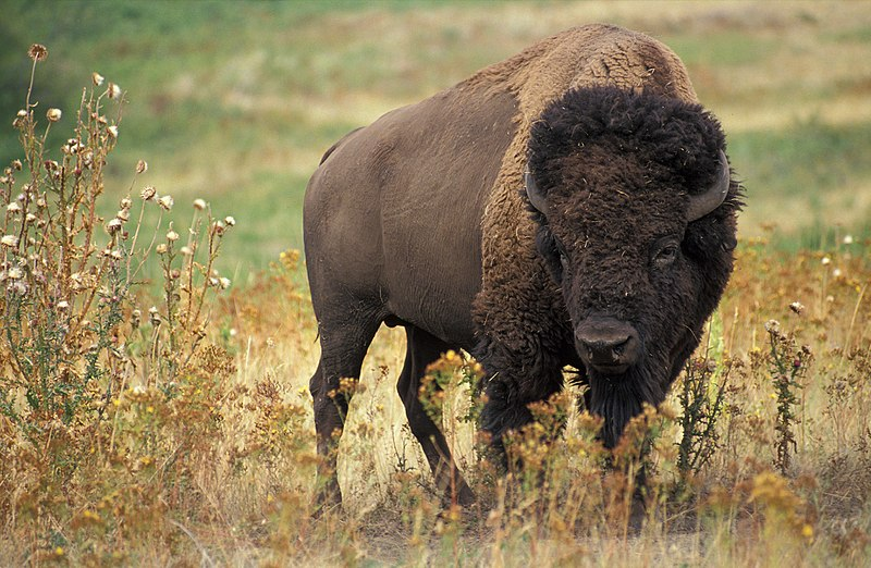 Main Difference - Buffalo vs Bison