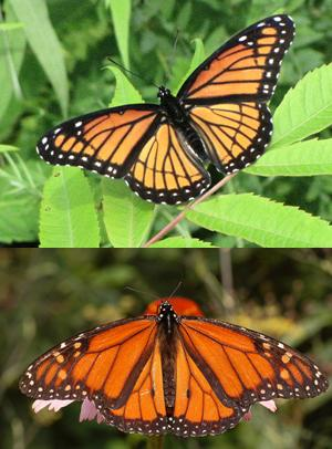 Main Difference - Camouflage vs Mimicry