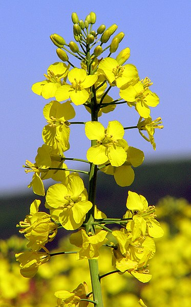 Difference Between Canola Oil and Vegetable Oil