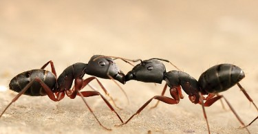 Main Difference - Carpenter Ants and Black Ants