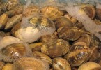 Difference Between Clams Mussels and Oysters