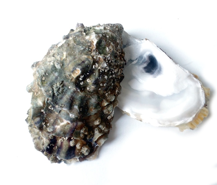 Difference Between Clams Mussels and Oysters_Figure3