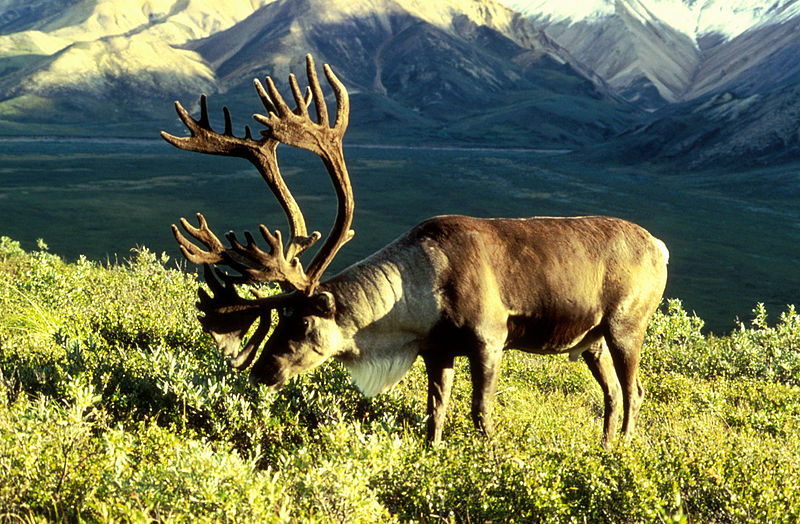 Difference Between Deer and Reindeer
